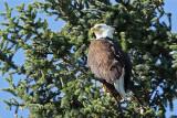 Bald Eagle #3 (8473)