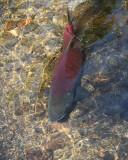 Spawning Salmon (8676)