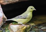 Lesser Goldfinch #5319