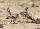 Galapagos Mockingbird feeding chick (6088)