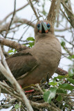 Red-footed Booby on Nest (3213L)