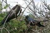 Magnificent Frigatebirds (3224L)