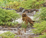 Short-eared Owl (6280)