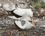 Nazca Booby pair being Friendly (6384)