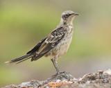 Galapagos Mockingbird portrait (6444)