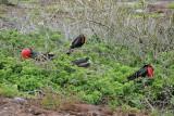 Great Frigatebird Group in Bush (3243L)