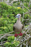 Red-footed Booby on Branch (3258L)