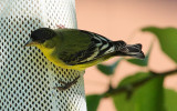 Lesser Goldfinch (Green-backed form) #7725