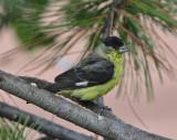 Lesser Goldfinch #3870