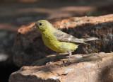 Lesser Goldfinch #4325