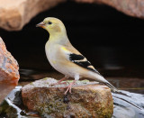 American Goldfinch #5603