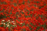 Campo rojo / Red field
