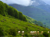 Subiendo las vacas