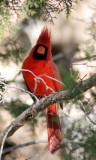 cardinal3.jpg