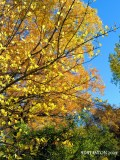 Autum Cottonwoods sds.jpg