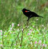 redwinged blackbird.jpg