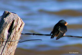 Baby Barn Swallow.jpg