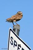 flirty owl.jpg