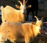 Old Goats.jpg