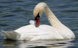 shy swan.jpg