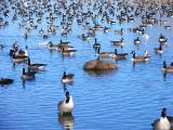 Many Geese