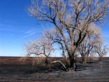 Charred Trees Near Pampa