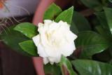 2 February Gardenia flower