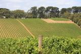 12 February Vineyard Mornington Peninsula