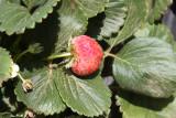 18 February Strawberry fields forever