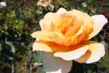 20 february Rose Just Joey