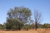 24 February Tree in paddock