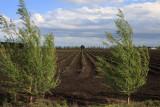 Aspargus field in Koo Wee Rup