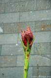 23 Gymea Lily