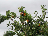 Apple tree with rainbow lorikeets