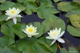 three water lilies flowers