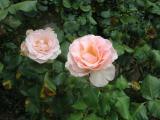 Margaret Roses 1