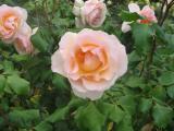 Margaret Roses 3