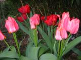 my tulips in 2003