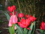 a mixture of tulips