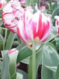tulips the nice2