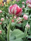 tulip the nice.JPG