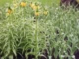 tulip13.jpg