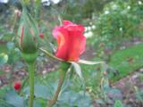 A new rose flowering