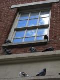 Pigeons - Greenwich VIllage