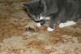 Mulle har fanget en mus