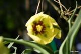 Fritillaria palladiflora