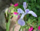 Iris sibirica Mrs. Rowe