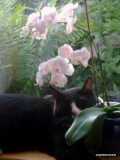 Felix in the window with the Phalaenopsis