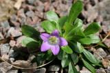 Campanula ardonensis