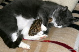 Mulle Female Cat with Bob White Quail chicken Findus / Mulle vores hunkat med sin nye kylling 2009